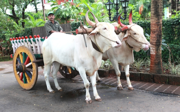 Bullock_cart_prakruti_resor.jpg